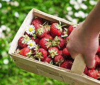 strawberry picking on long island