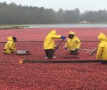 Bog Down: Visit Cranberry Bogs in Massachusetts