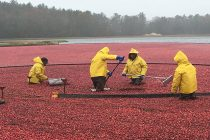 cranberry bogs in massachusetts