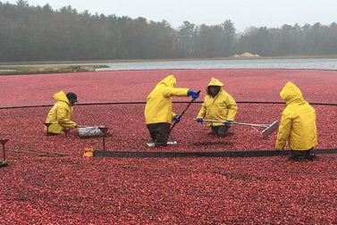 Bog Down: Visit Cranberry Bogs in Massachusetts