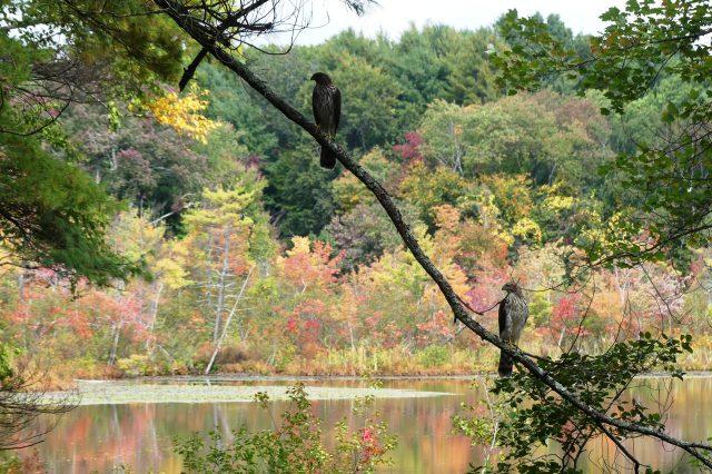 hawk in fall